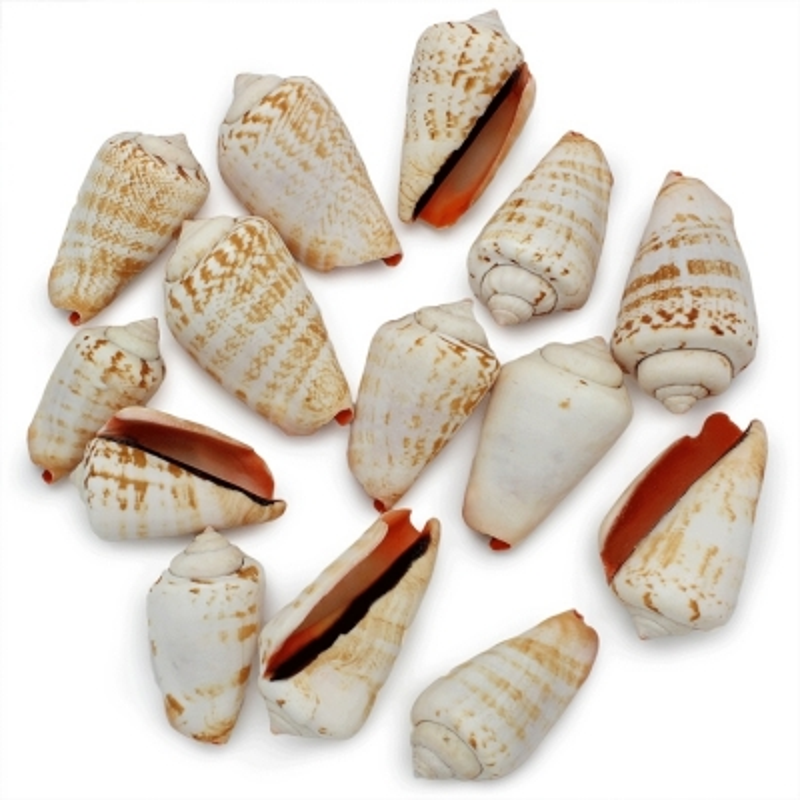 Caracóis a granel, Strombus Luhuanus