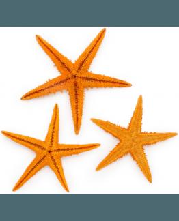 Estrelas de Mar Naturais, cor laranja, entre 5 y 7,5 cm.