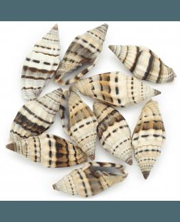 Caracolas de mar vexillum rugosum black