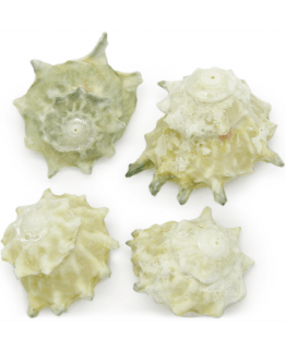 Caracolas de mar Australian Calcar Green