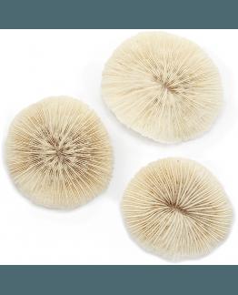 Coral Natural Fungia Fungites, selecionado e lavado.