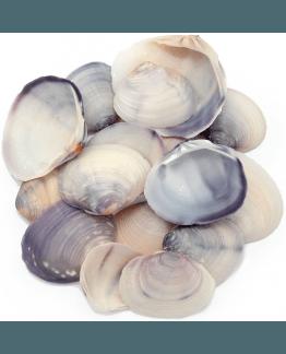 Conchas do mar purple clam naturais