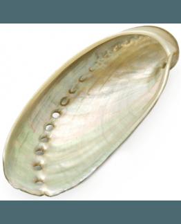 Conchas de Nácar, Haliotis Assinina