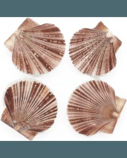 Conchas para artesantos