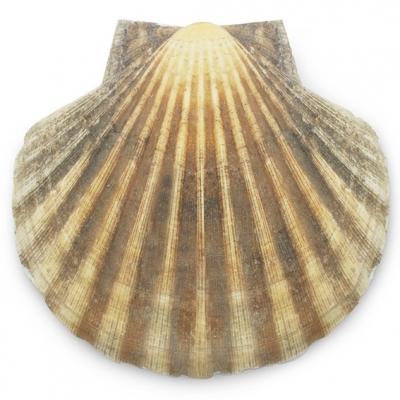 Vieira Iris Scallop, conchas grandes