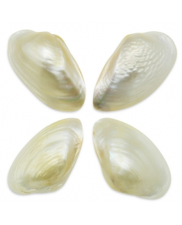 Conchas naturais de nácar, ascia ascia