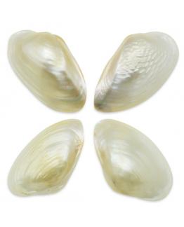 Conchas de nacar Ascia Ascia